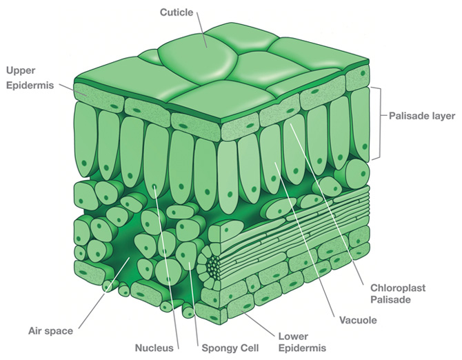 Pin Leaf Diagram on Pinterest  Pin Leaf Diagra...
